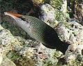 Gomphosus varius female.jpg