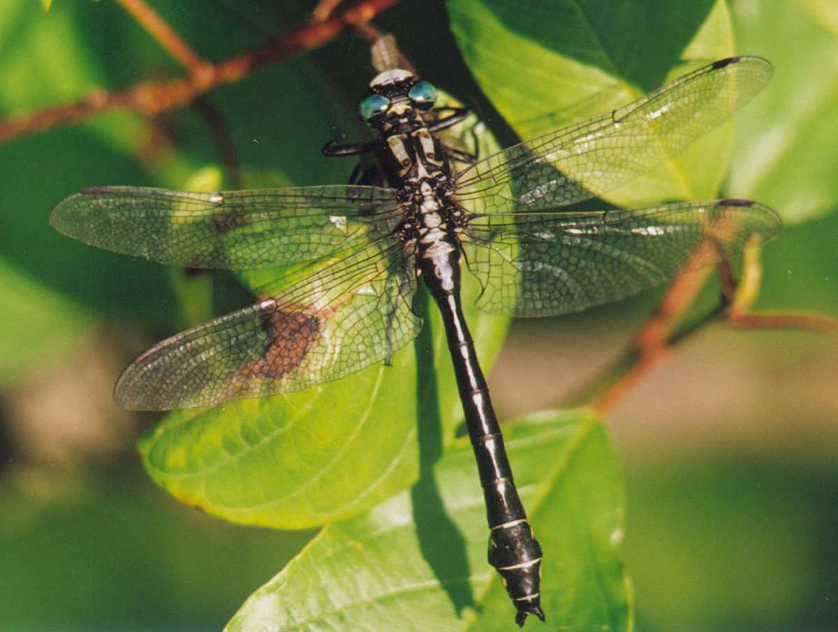 gomphus dragonfly wikipedia