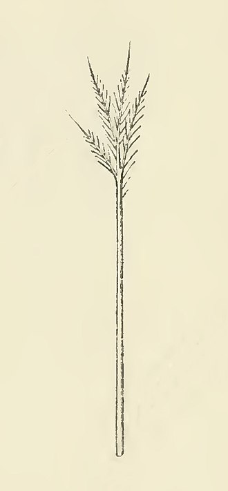 Glossary of bird terms - Illustration of a goose filoplume feather, from The Structure and Life of Birds (1895).