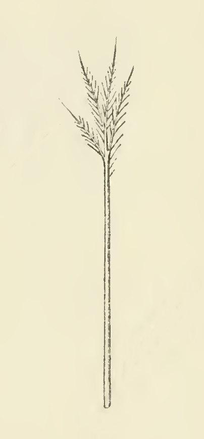 Goose filoplume illustration-1895