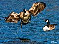 Goose landing.jpg