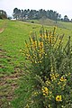 Gorse flowering on Pentridge Hill - geograph.org.uk - 342317.jpg
