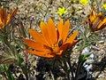 Gorteria diffusa (Beetle Daisy) - Asteraceae (4087570728).jpg