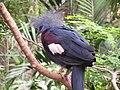 Goura scheepmakeri (Southern Crowned-Pigeon).jpg