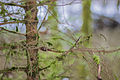 Grün im Winter, bemooster Nadelbaum in der Wutachschlucht zur Winterzeit.jpg