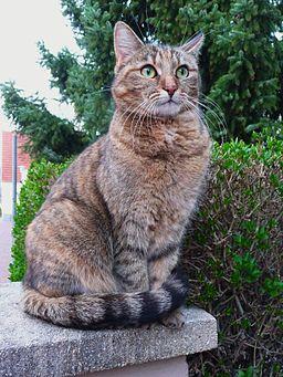 Grüne Augen einer Katze