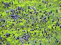 Grape Hyacinths and Euphorbia 02 (2475792852).jpg