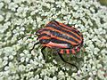 Graphosoma lineatum (Pentatomidae sp.), Valkenburg, the Netherlands.jpg