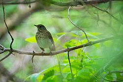 Gray-cheeked Thrush (Catharus minimus) (17192511344).jpg
