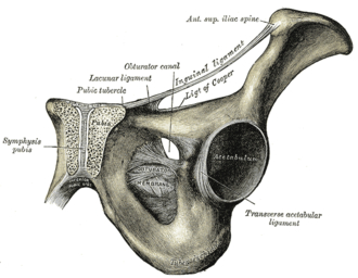 Lacunar ligament - The inguinal and lacunar ligaments. (Lacunar ligament labeled at center top.)