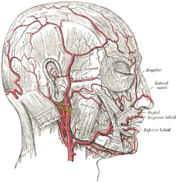 Lateral nasal branch of facial artery - Wikipedia