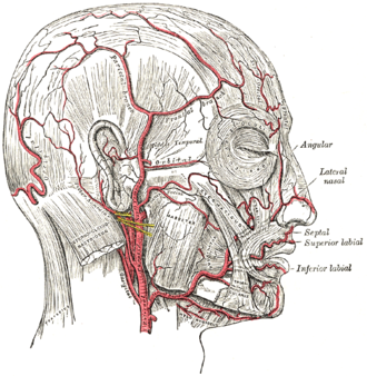Posterior auricular artery - The arteries of the face and scalp. (Posterior auricular visible slightly below ear.)