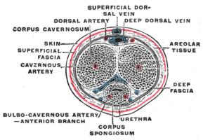háti pénisz artéria