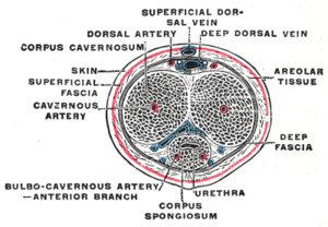 The penis in transverse section, showing the bloodvessels.