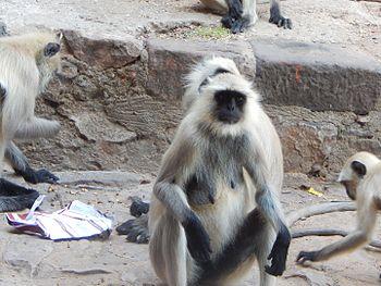 Gray langur at ranthambore national park india.jpg