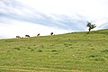 Grazing cows on the hill above the lake of Uvac.jpg