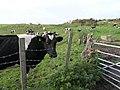 Grazing fields near Llandybie - geograph.org.uk - 259932.jpg
