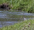 Great Blue Heron on the Chimney Rock segment of the Crooked Wild and Scenic River (28099349751).jpg