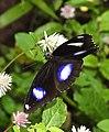 Great Eggfly Hypolimnas bolina male UP by Dr. Raju Kasambe DSCN8510 (12).jpg