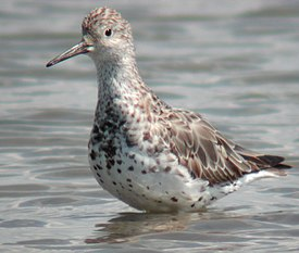 Great Knot scarboro .sep02.jpg