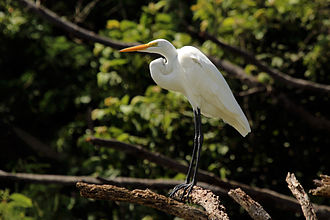 Great egret - Adult in Tobago