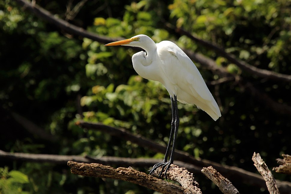 Great egret (Ardea alba) Tobago