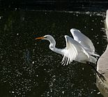 Great egret is taking off.jpg