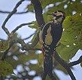 Great spotted woodpecker (50403430328).jpg