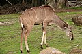 Greater Kudu SF Zoo.jpg