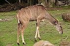 Greater Kudu SF Zoo.jpg