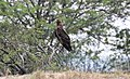Greater Spotted Eagle-1.jpg