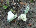 Green-veined Whites - Flickr - gailhampshire.jpg