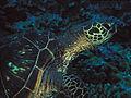 Green Sea Turtle at Ulua Beach, Maui (109517016).jpg