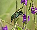 Green Thorntail; July 2014.jpg
