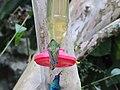 Green Violetear Hummingbirds - Inkaterra Machu Picchu Pueblo Hotel and Nature Reserve - Aguas Calientes, Peru (4875687483).jpg