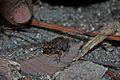 Greenhouse Frog (Eleutherodactylus planirostris) (8572426524).jpg