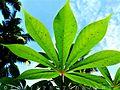 Greenish Leaf.jpg