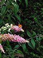Grenchen - Argynnis paphia on Buddleja flowers.jpg