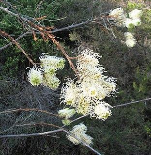 <i>Grevillea leucopteris</i> species of plant