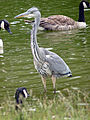 Grey Heron (5964299173).jpg