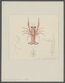 Grimothea duperreyi - - Print - Iconographia Zoologica - Special Collections University of Amsterdam - UBAINV0274 096 14 0010.tif