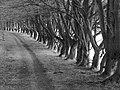 Grown up beech hedge - geograph.org.uk - 568033.jpg