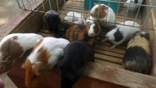 File:Guinea pigs - Japanese petting zoo - 2018 6 26.webm