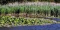 Gul näckros (Nuphar lutea) - Ystad-2021.jpg