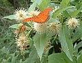 Gulf Fritillary (Agraulis vanillae) and Lichen Moth (Lycomorpha pholus) - panoramio.jpg
