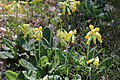 Gullviva (Primula veris ) 002.jpg