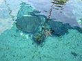 Gumbo Limbo turtle starfish.JPG