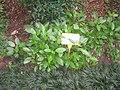 Gynura divaricata - Hong Kong Botanical Garden - IMG 9618.JPG