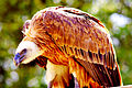 HDR eagle wiki.jpg
