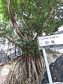 HK 上環 Sheung Wan Caine Lane name sign Chinese banyan tree root Thursday morning October 2019 SS2 02.jpg